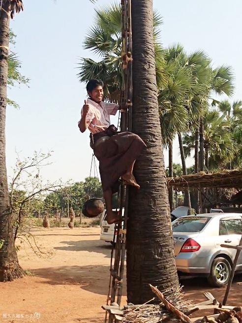 棕櫚樹 Palm Tree